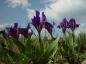 Zwergschwertlilie